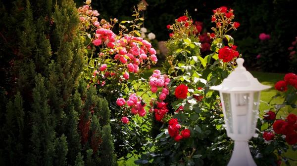 """Leinwandbild """"Rosen im Garten"""" wide"""