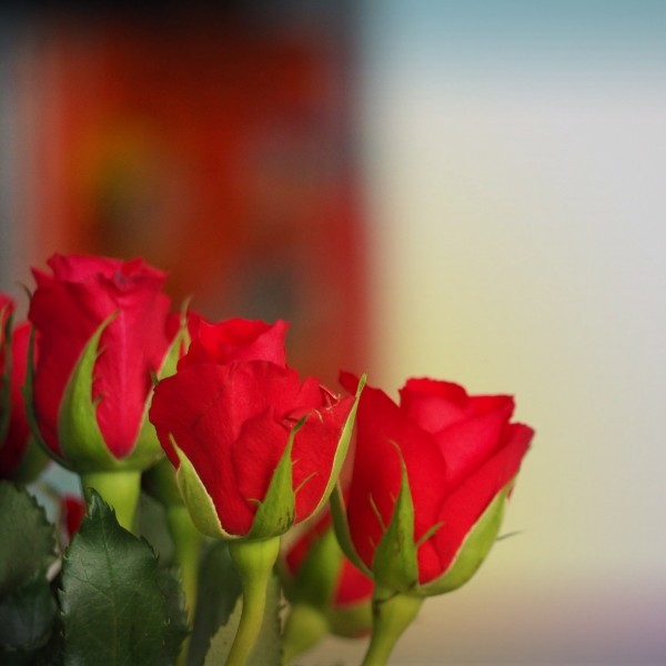 "Leinwandbild ""Rote Rosen"""