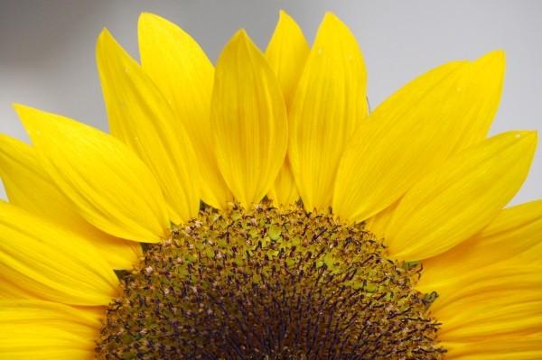 """Leinwandbild """"Sonnenblumenhälfte"""""""