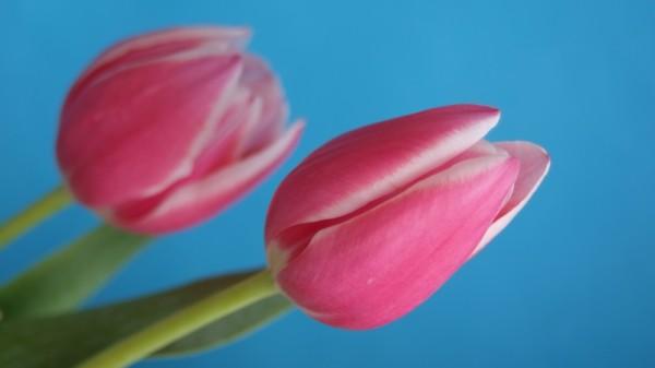 """Leinwandbild """"2 Tulpen"""" wide"""