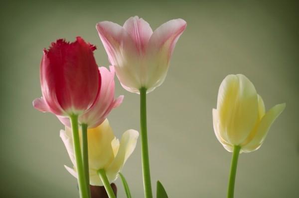 """Leinwandbild """"5 Tulpen"""""""