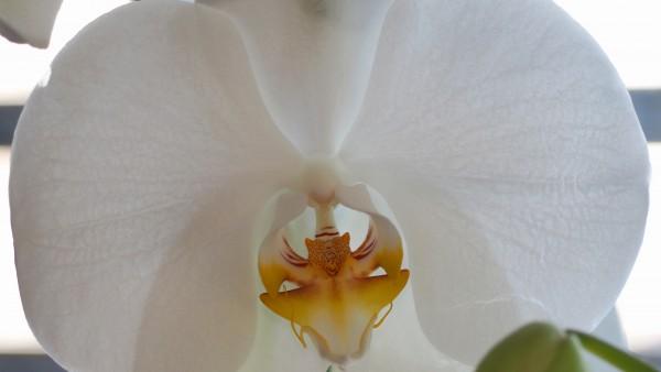 "Leinwandbild ""Orchidee weiss"""