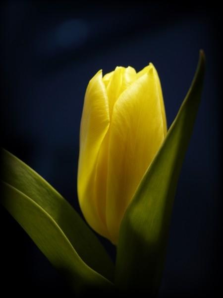 """Leinwandbild """"Tulpe in gelb"""""""