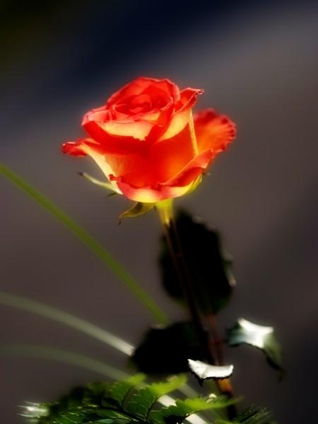 """Leinwandbild """"Rose Romantik"""""""