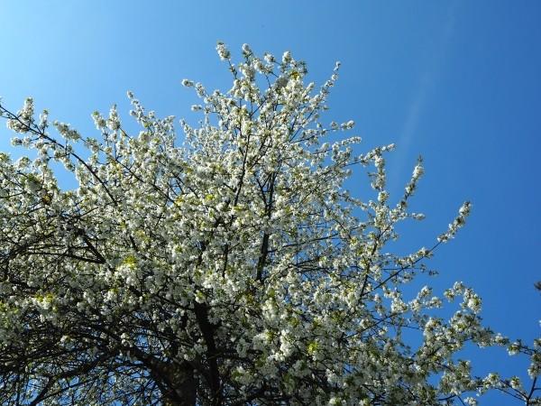"""Leinwandbild """"Blüten auf Ästen"""""""