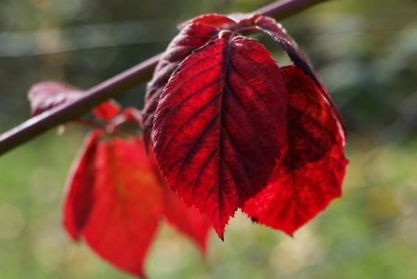 """Leinwandbild """"Rote Blätter"""""""