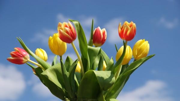 """Leinwandbild """"Tulpen"""""""