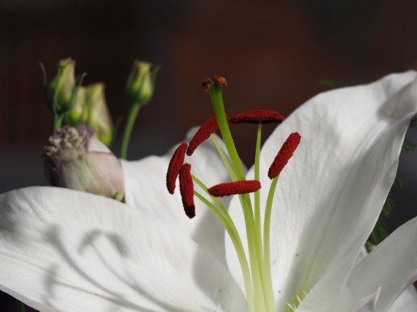 "Leinwandbild ""Blütenpollen in rot"""