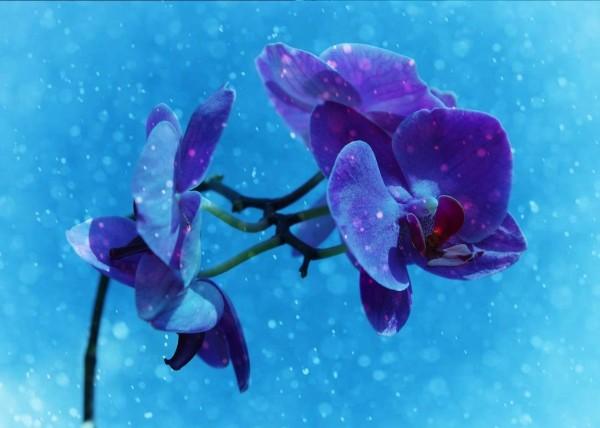 """Leinwandbild """"Orchidee blau effekt"""""""