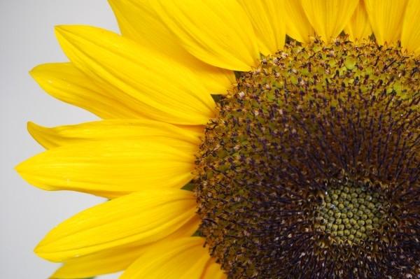 """Leinwandbild """"Sonnenblume Ausschnitt"""""""