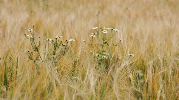 "Leinwandbild ""Wildes Gras"""