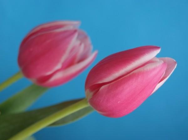 "Leinwandbild ""2 Tulpen"" origin"
