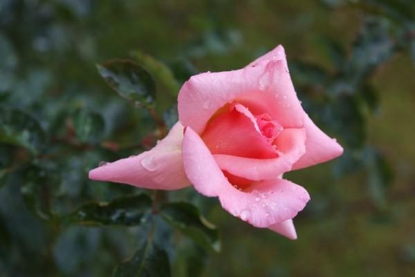 """Leinwandbild """"Rose rosa mit Tropfen"""""""