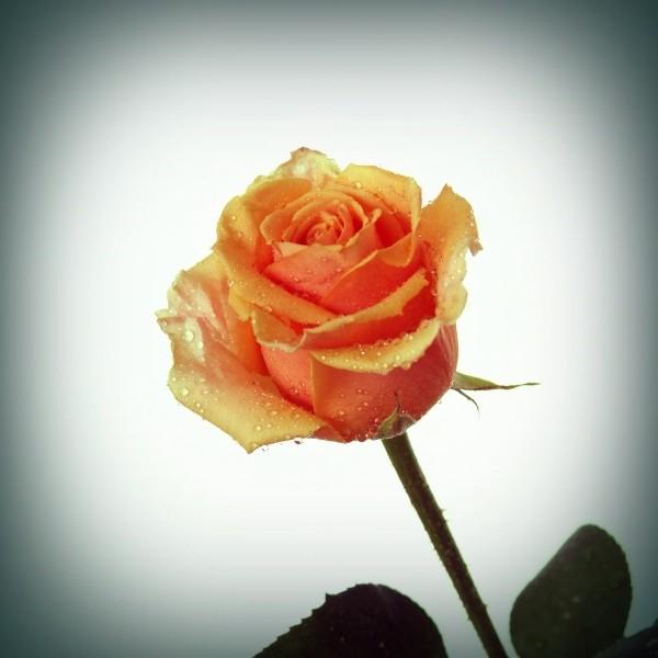 """Leinwandbild """"Tropfen auf Rose"""""""