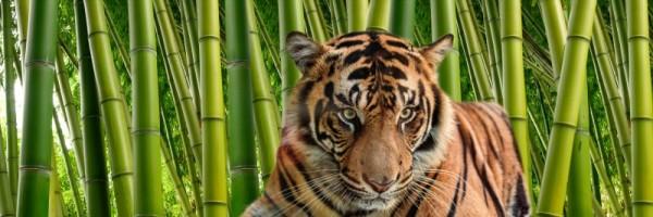 "Leinwandbild ""Tiger im Bambus"""